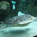 Acquario Genova: tartaruga marina