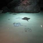 Acquario di Genova: le razze